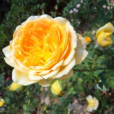 tree, flowers, rose, Sony DSC-W520