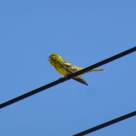 passerines, birds, i verdecillo, Panasonic DMC-TZ27