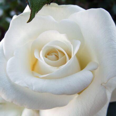 rose, white rose, macro, Fujifilm FinePix S2980