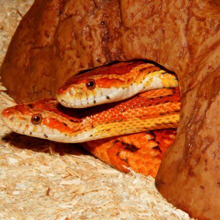 snake, non toxic, corn, Sony SLT-A58