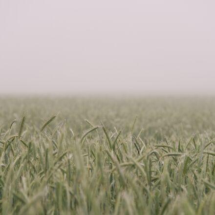 farm, field, grain, Sony ILCE-7RM2