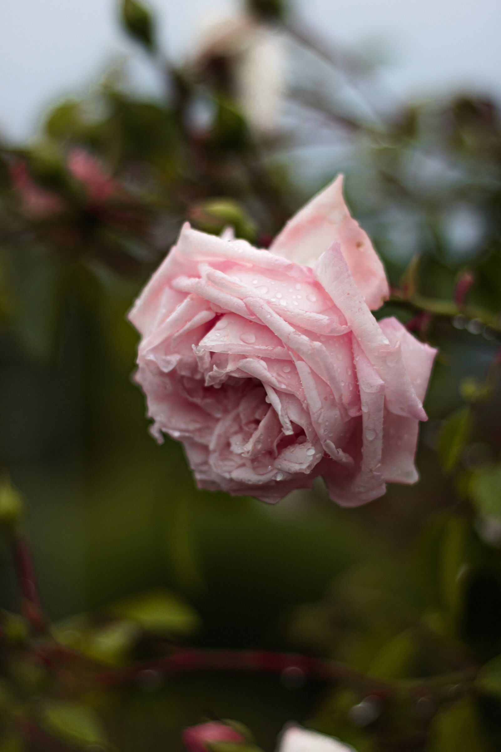 """Canon EOS 760D (EOS Rebel T6s / EOS 8000D) sample photo. """"Rose, pink, flower"""" photography"""
