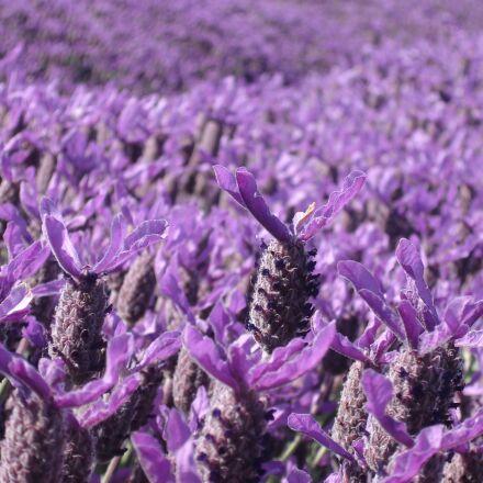 lavender, purple, crop, Sony DSC-P73