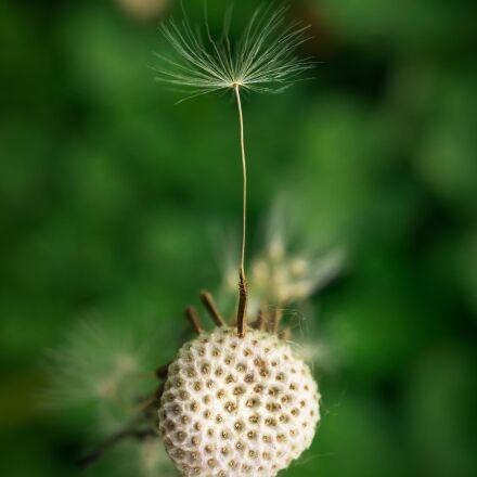 dandelion, seeds, nature, Sony NEX-5N