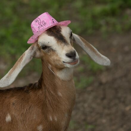 cute, pink, goat, Canon EOS 5D MARK III
