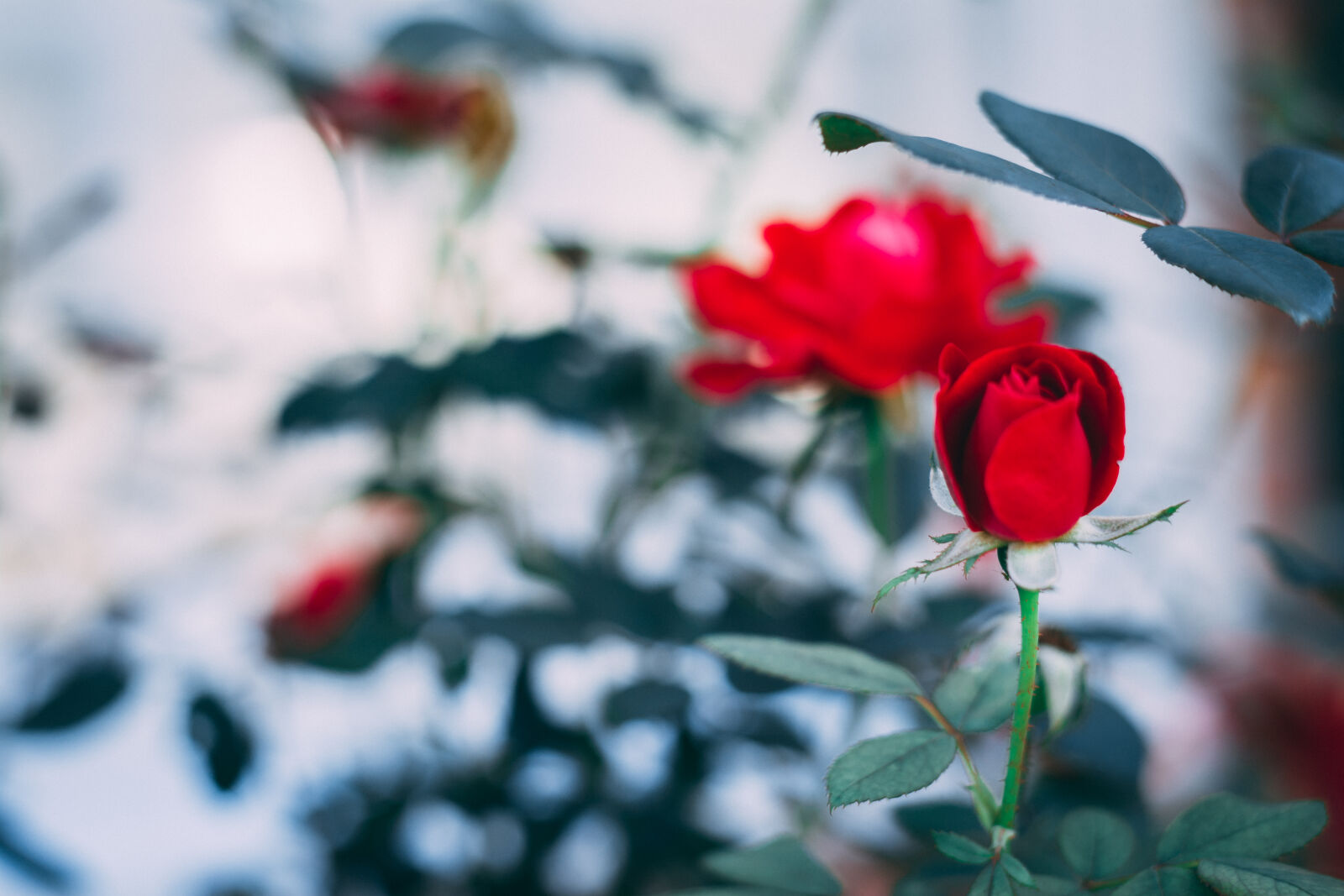 """Nikon D5200 sample photo. """"Flower, red, rose"""" photography"""