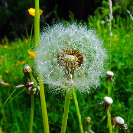 dandelion, withered, nature, Nikon COOLPIX P310