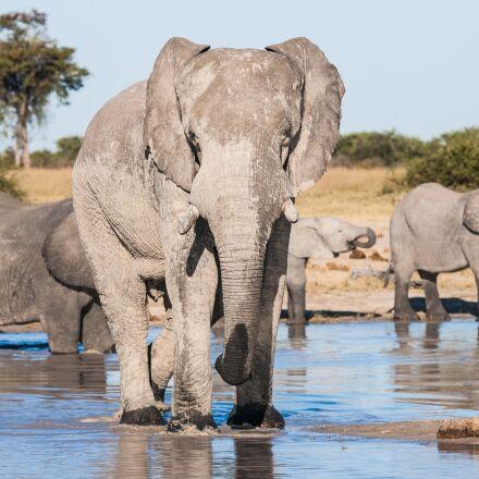 african elephants drinking, elephants, Canon EOS-1D MARK II N