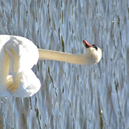 swan, Nikon D5200