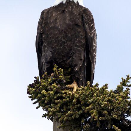 bald eagle, eagle, bald, Canon EOS 5D MARK II