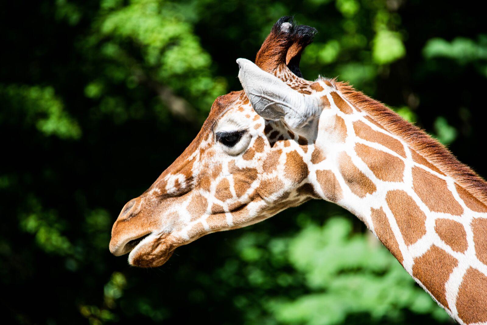 giraffe, africa, portrait