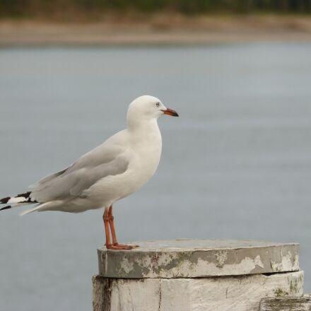 seagull, sea, gull, Panasonic DMC-FZ60