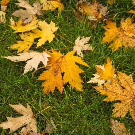 fall, leaves, brown, Canon EOS 60D