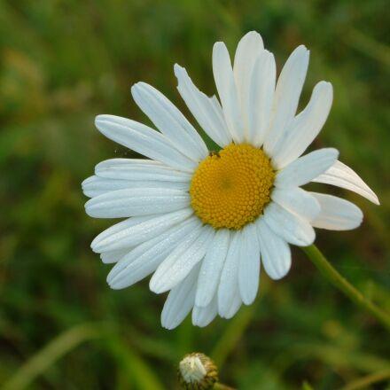 flower, marguerite, spring, Fujifilm FinePix S602 ZOOM