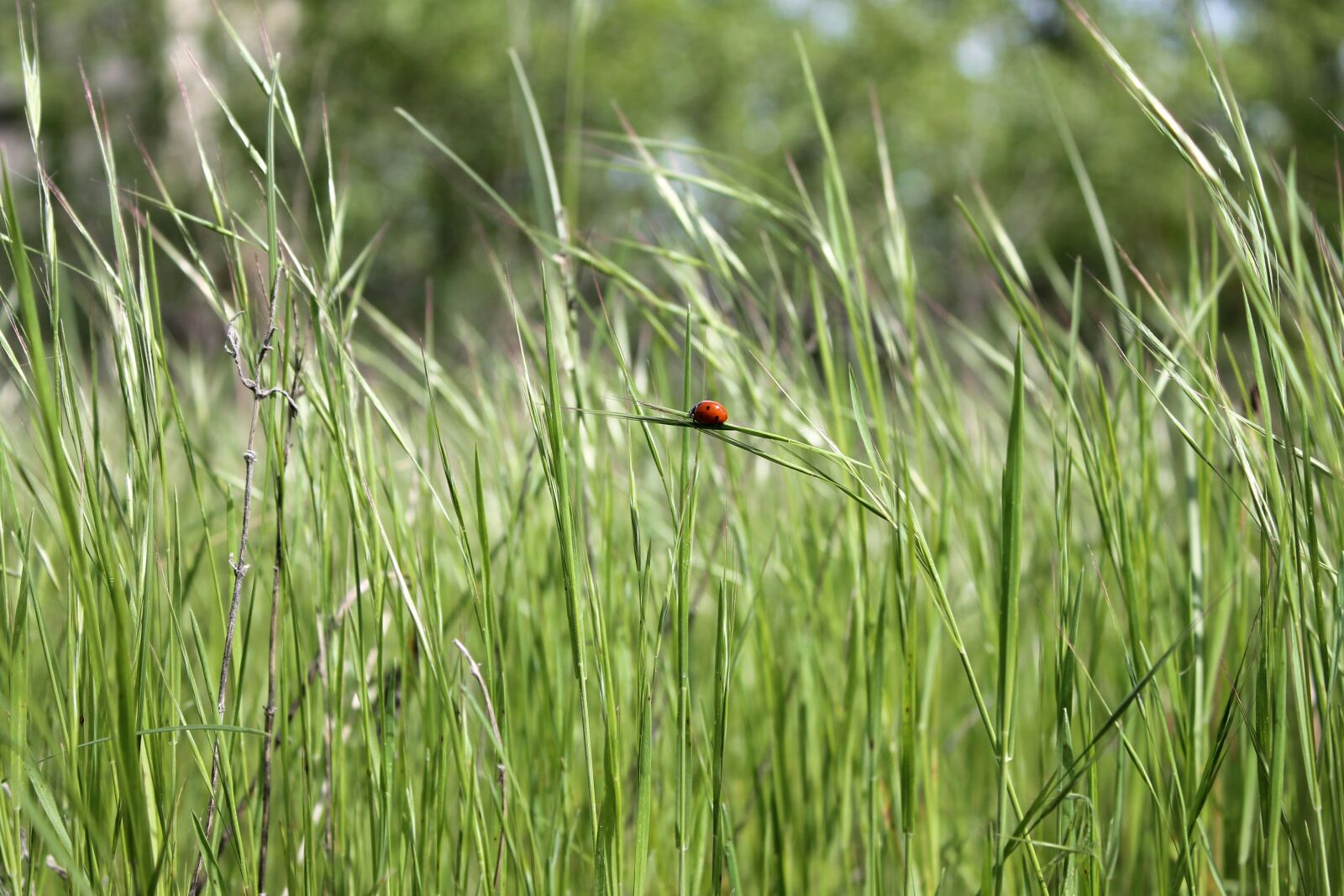 """Canon EOS 1100D (EOS Rebel T3 / EOS Kiss X50) sample photo. """"Ladybug, bug, insect"""" photography"""