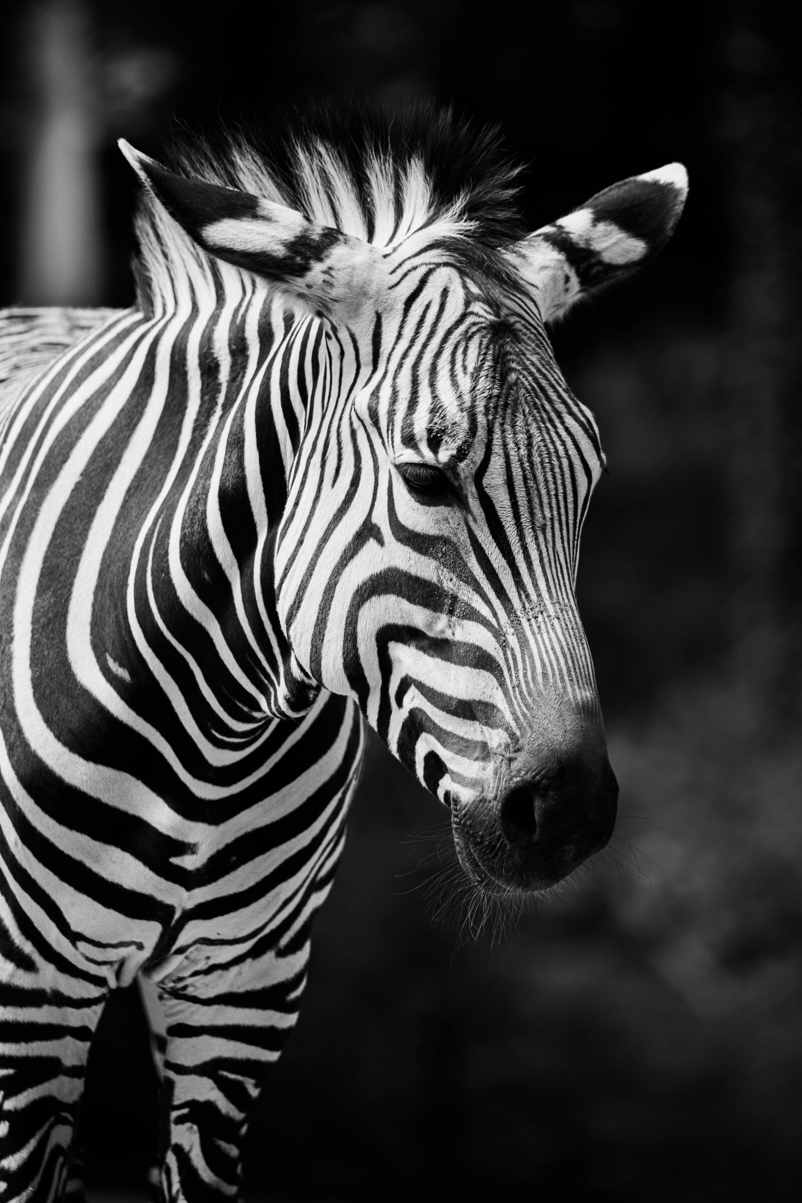 zebra, africa, poaching