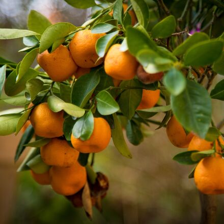 oranges, tree, nature, Sony ILCE-7S
