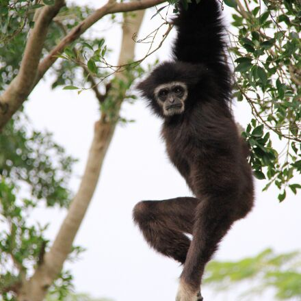gibbon, long, hanging, Canon EOS 7D