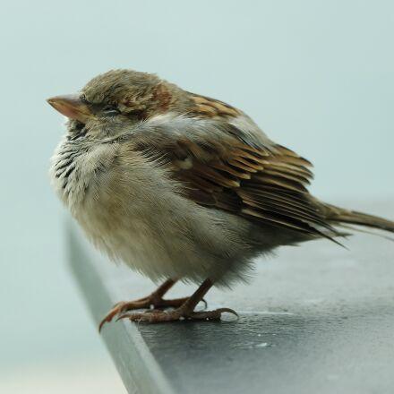 bird, sparrow, Samsung NX3000