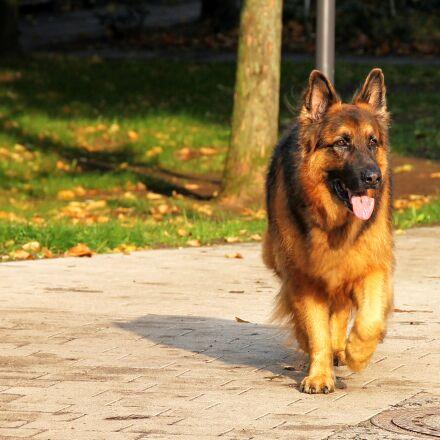 dog, sch fer dog, Canon EOS 1100D