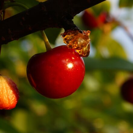 tree, ripe, red, Sony SLT-A58