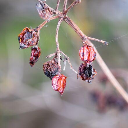 spider web, rose hip, Fujifilm X-T1