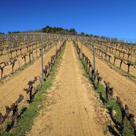 vine, grape, spring, Nikon COOLPIX P300