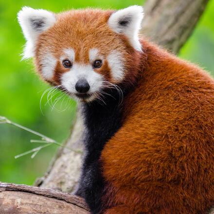 red, panda, on, branch, Nikon D7000