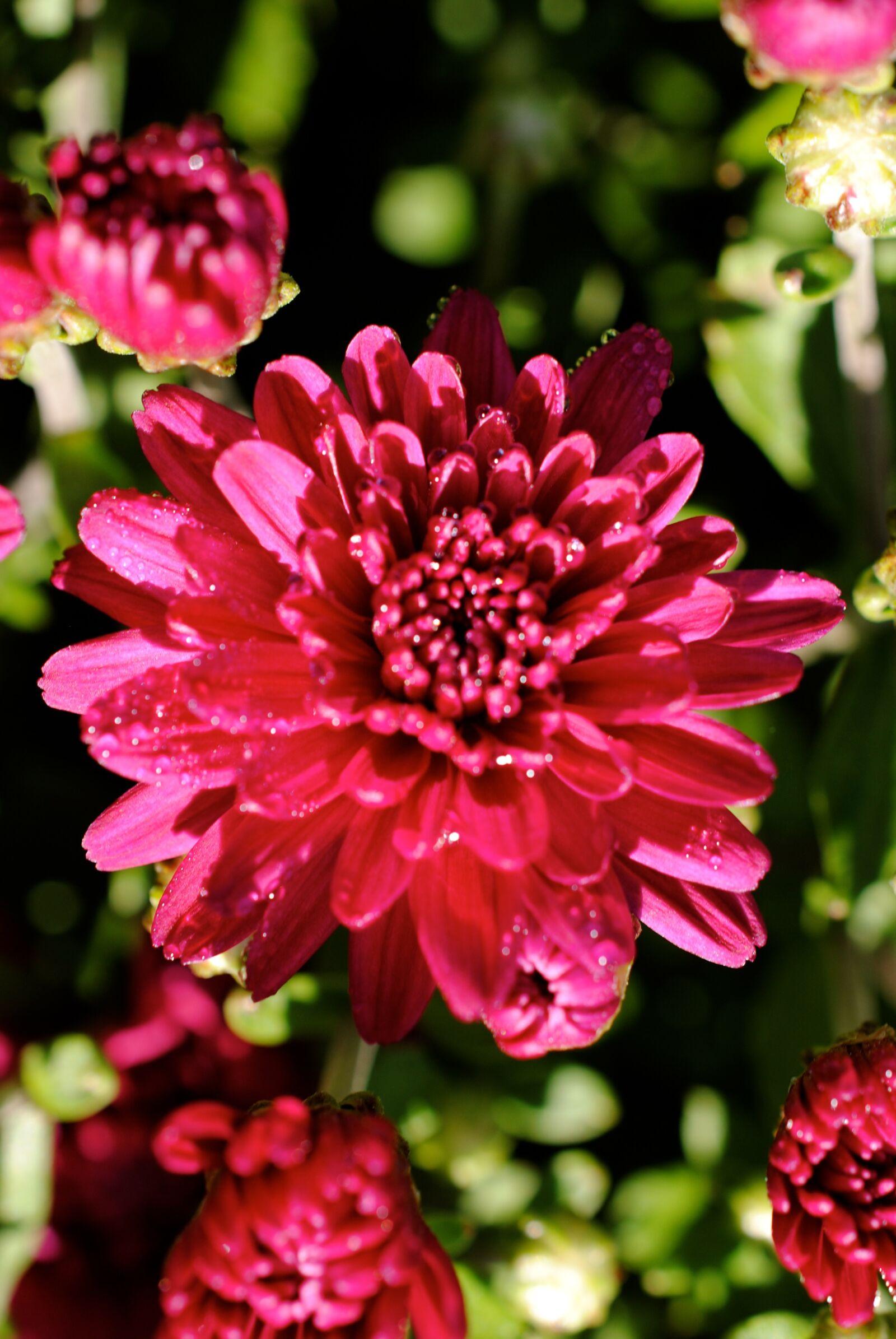 "Nikon D3000 sample photo. ""Mum, chrysanthemum, pink"" photography"