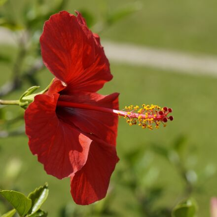 hibiscus, red, blossom, Sony SLT-A58