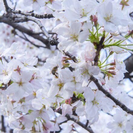 branch, cherry wood, flower, Sony ILCE-7