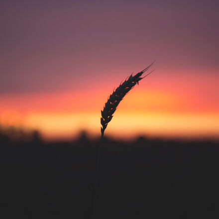 grain, plant, during, sunset, Canon EOS 6D