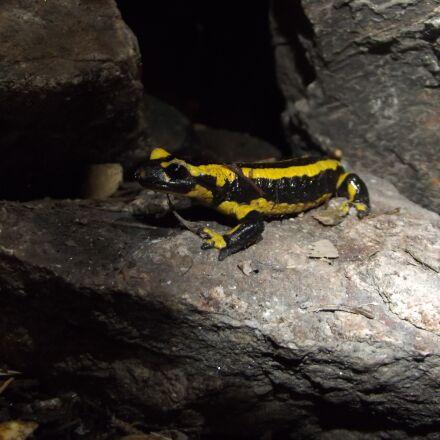salamander, stone, animal, Fujifilm FinePix S2980