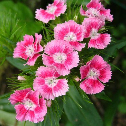 carnation pink, eyelet, flowers, Fujifilm FinePix S5000