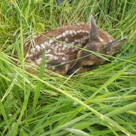 fawn, roe deer, young, Nikon COOLPIX S2600