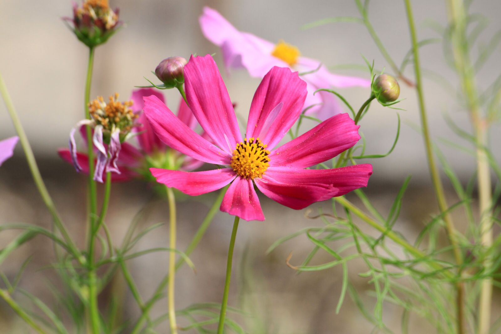 "Canon EOS 50D sample photo. ""Cosmos, autumn flowers, autumn"" photography"