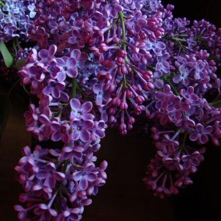 lilac, flower, purple, Sony DSC-W230