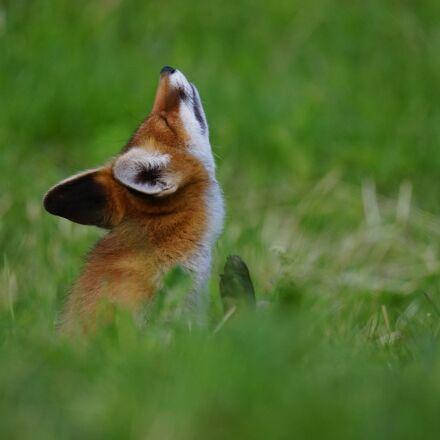 fox, animal, serfdom, Sony ILCE-7M2