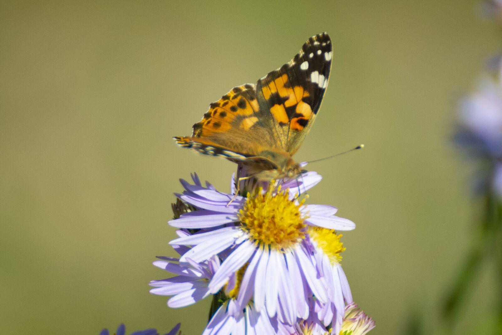 "Nikon D750 sample photo. ""Buterfly, nature, flora"" photography"