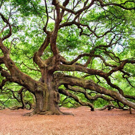 oak tree, tree, huge, Canon EOS 5D MARK III