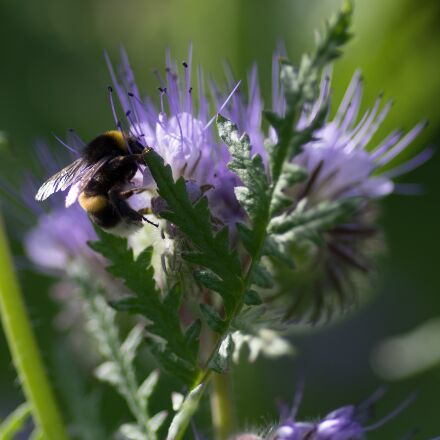 bourdon, foraging, flower, RICOH PENTAX K-3