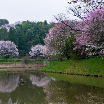 cherry blossoms, pond, japan, Fujifilm X-E1