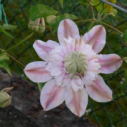 flower, clematis, renonculacée, Nikon COOLPIX L5