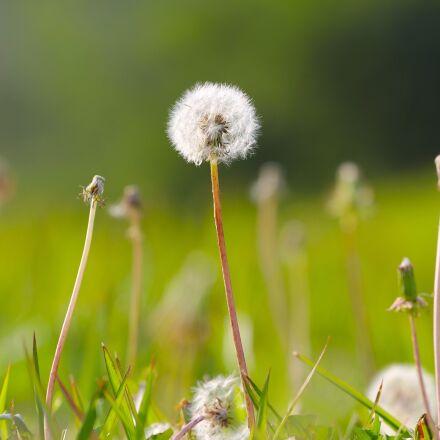 dandelion, plant, flower, Canon EOS 60D