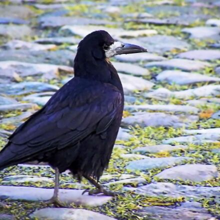 raven, black, bird, Fujifilm FinePix S8100fd