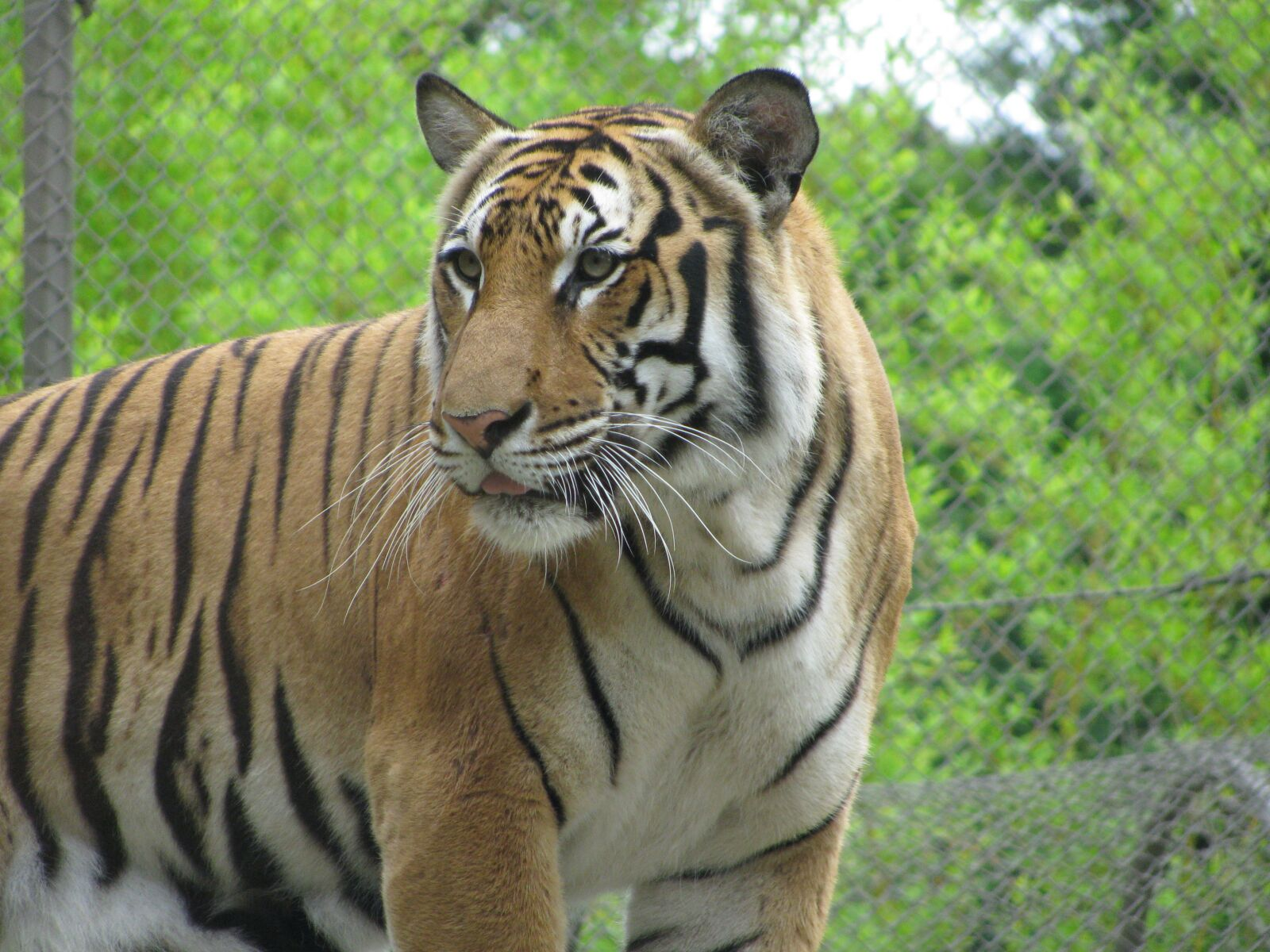"""Canon PowerShot SX110 IS sample photo. """"Tiger, stripes, cat"""" photography"""