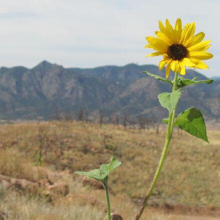 flower, yellow, nature, Canon POWERSHOT SX120 IS