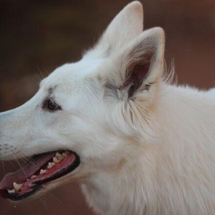 white shepherd, dog, animal, Canon EOS 600D