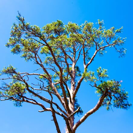 sky, pine, needles, Fujifilm X-T1