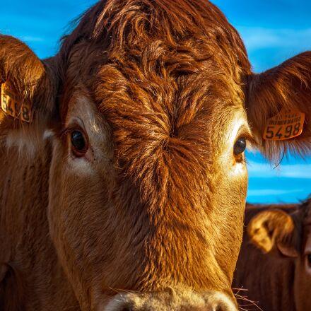 cow, beef, animal, Pentax K10D